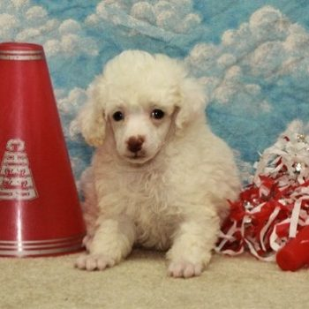 Tammy  –  Teacup Toy Snow White Poodle