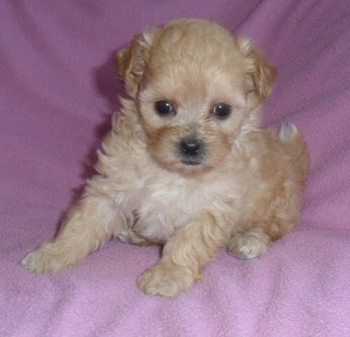 Abby – Mixed Shih Poo Puppy