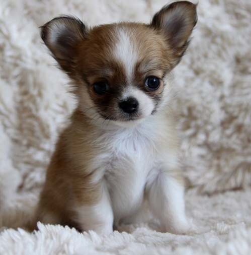 Cameo - Micro Teacup Chihuahua - Puppy Therapy LLC