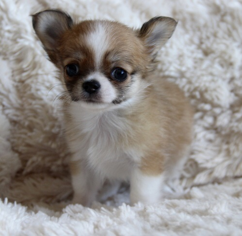 Cameo – Micro Teacup Chihuahua