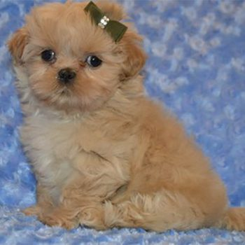 Saint – Teacup Shih Tzu