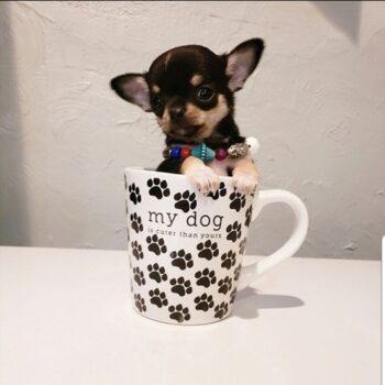 Carly – Micro Teacup Chihuahua
