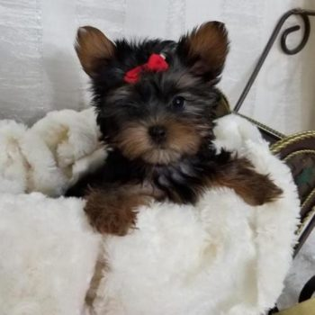 Nilly –  Teacup Tiny Yorkie