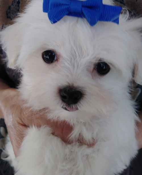 Marty –  Teacup Maltese
