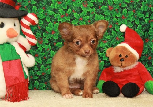 Collin  – Tiny Toy Chihuahua