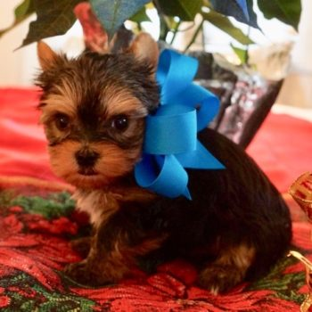 Nick –  Tiny  Toy Yorkie
