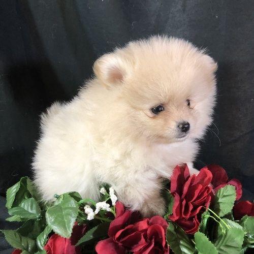 Petunia – Teacup Toy Pomeranian