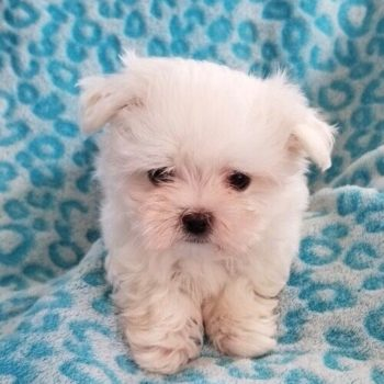 Mister –  Tiny Teacup  Maltese