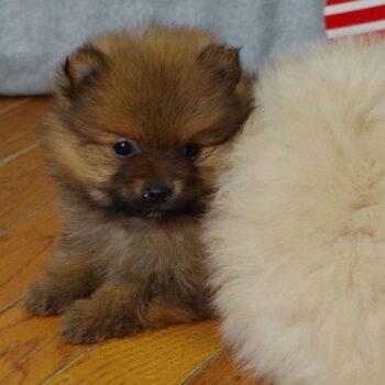 Penna – Teacup  Pomeranian