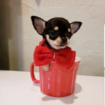 Chubby – Micro Teacup Chihuahua