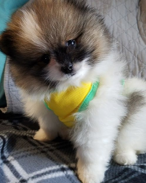 Pepsi – Tiny Toy Pomeranian