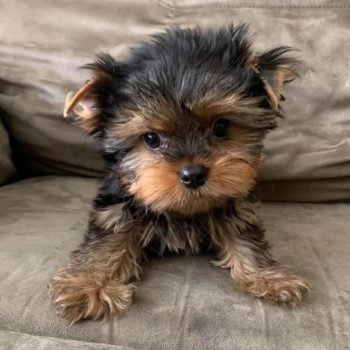 Nico – (male) Tiny Toy  Yorkie
