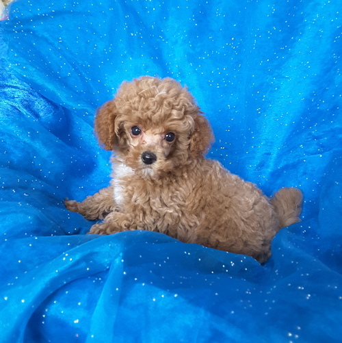 Theo – Tiny Toy Teacup Poodle
