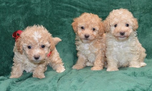 Tabby – Toy  Poodle