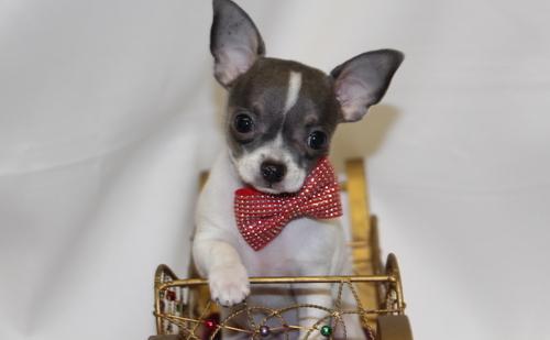 Cido –  Teacup Tiny Chihuahua