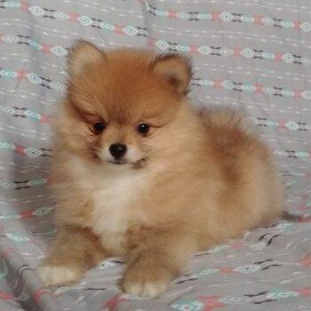 Pacco  – Tiny Toy Pomeranian