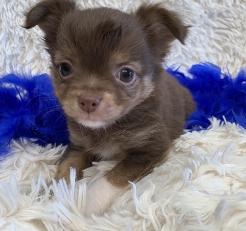 Cash –  Teacup Chihuahua