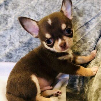 Choco –  Teacup Chihuahua