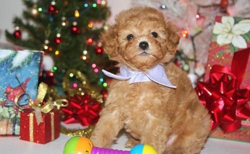 Tango- Tiny Toy   Poodle