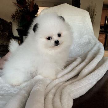 Panda – Teacup Toy  Pomeranian