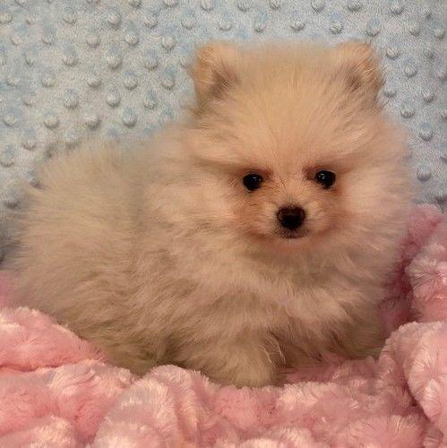 Priscilla – Tiny Toy  Pomeranian