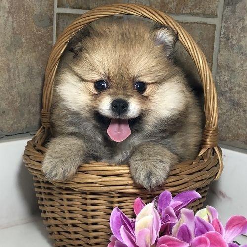 Penelope – Tiny Toy  Pomeranian