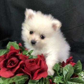 Pablo- Tiny Toy  Pomeranian