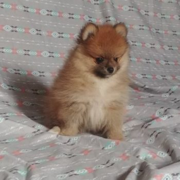Petra – Tiny Toy  Pomeranian