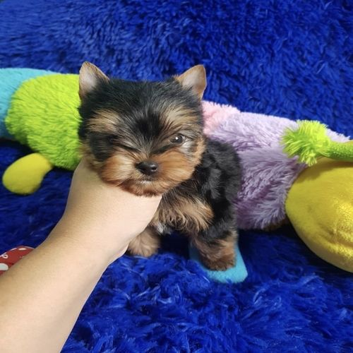Ned-   Teacup Yorkie