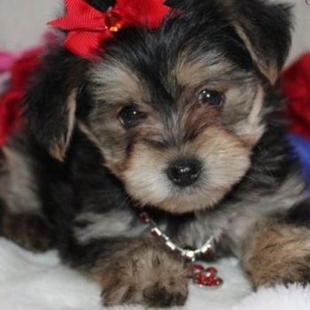 Noodles –  Tiny Toy Yorkie