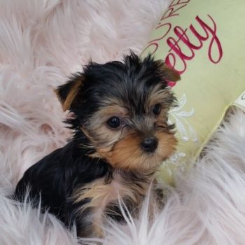 Norma- Teacup Toy Yorkie