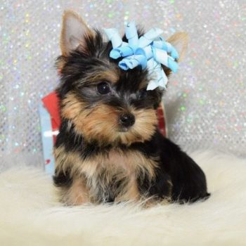 Nixie – Teacup Yorkie