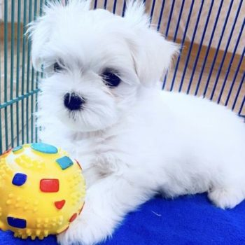 Maximus Tiny Toy  Maltese