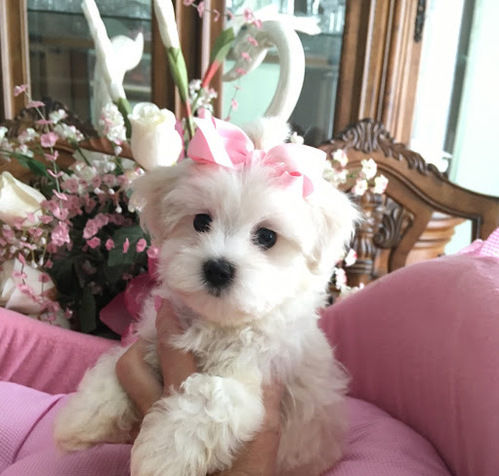 Maggie –  Teacup Toy Maltese
