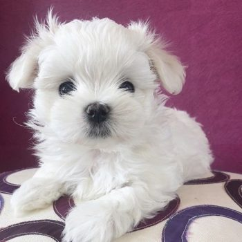 Molly- Teacup  Maltese